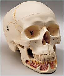 skull models