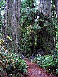 redwood forest photos