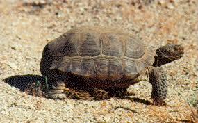 pictures of the desert tortoise