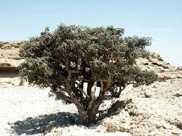 boswellia serrata tree