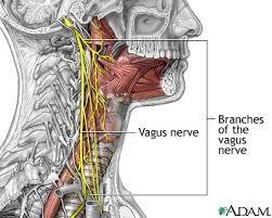vagus nerve picture