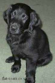 flat coat retriever puppies