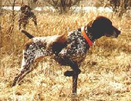german pointer breeder