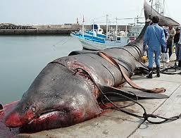 basking shark pictures