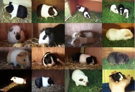 guinea pig cavies