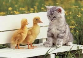 baby ducks pictures