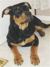 pitbull rottweiler mix puppies