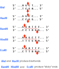 restriction enzymes sites