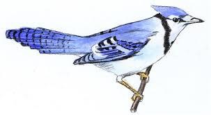 birds blue jay
