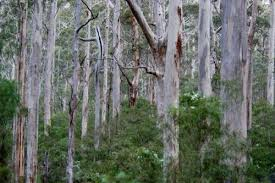 eucalypt forests in australia