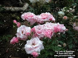 our lady of guadalupe roses