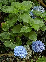 hydrangea picture