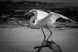 large white birds