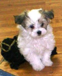 maltese and yorkie mixed