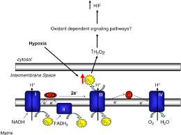 mitochondrial complex