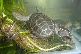 baby long neck turtles