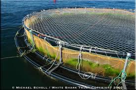salmon fish farm