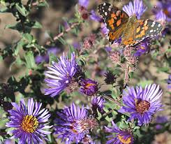 asters plant