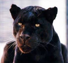 black panther animal