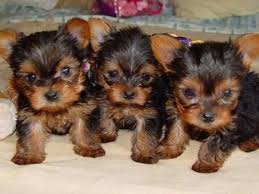 teacup yorkie terrier