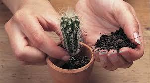 cacti seed