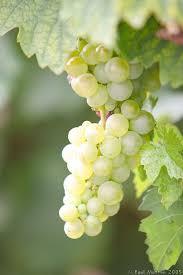 عنقود عنب كرمليسي للعضو الغائب / جون شمعـون آل سُوسْو  White_Grapes_growing_on_Vines_IMG_7404