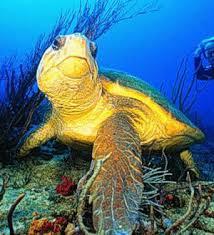 loggerhead turtle habitat