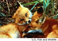 red fox life cycle