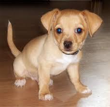 toy fox terrier pups