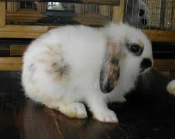 dwarf lop ear rabbit