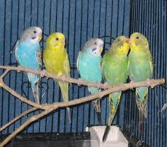 parakeets budgie