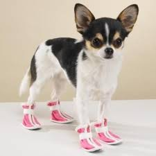 chihuahua booties