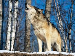 howling wolf photos
