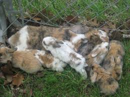 holland lops for sale