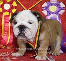 baby english bulldogs for sale