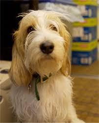pbgv dog breed