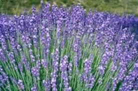 photo de fleurs de lavande