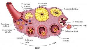 human ovary