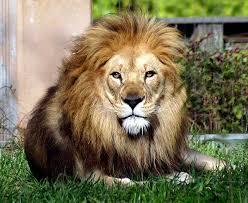 شعر لكل امراه حسب برجها mk11866_african-lion.jpg
