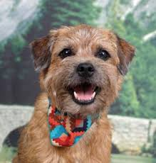 pictures of border terrier