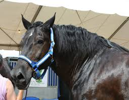 black draft horses