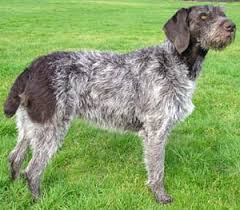 german wirehaired pointer dogs