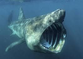 endangered species sharks