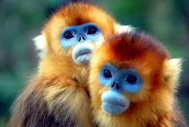 golden monkey pictures