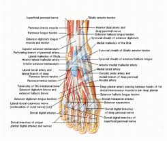 muscle in the foot