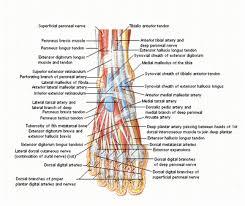 human anatomy foot