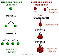 division mitotica