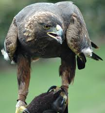 golden eagle birds