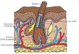 hair structure diagram
