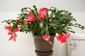 christmas cactus plants
